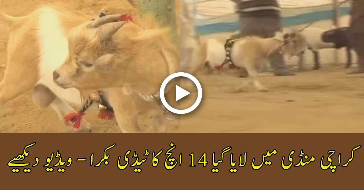 14 Inch Teddy Male Goat For Sale In Karachi Cattle Market -